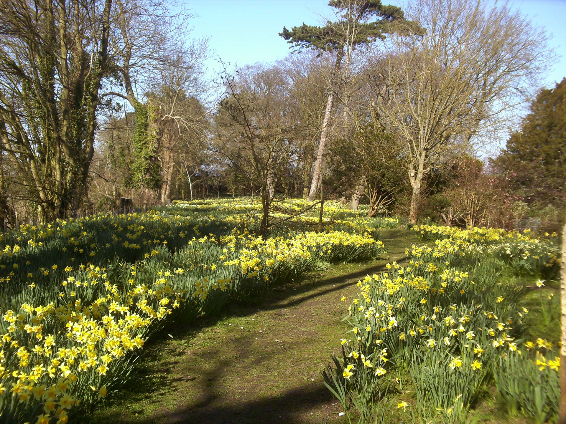 Daffodil Area at Hindringham Hall, Norfolk